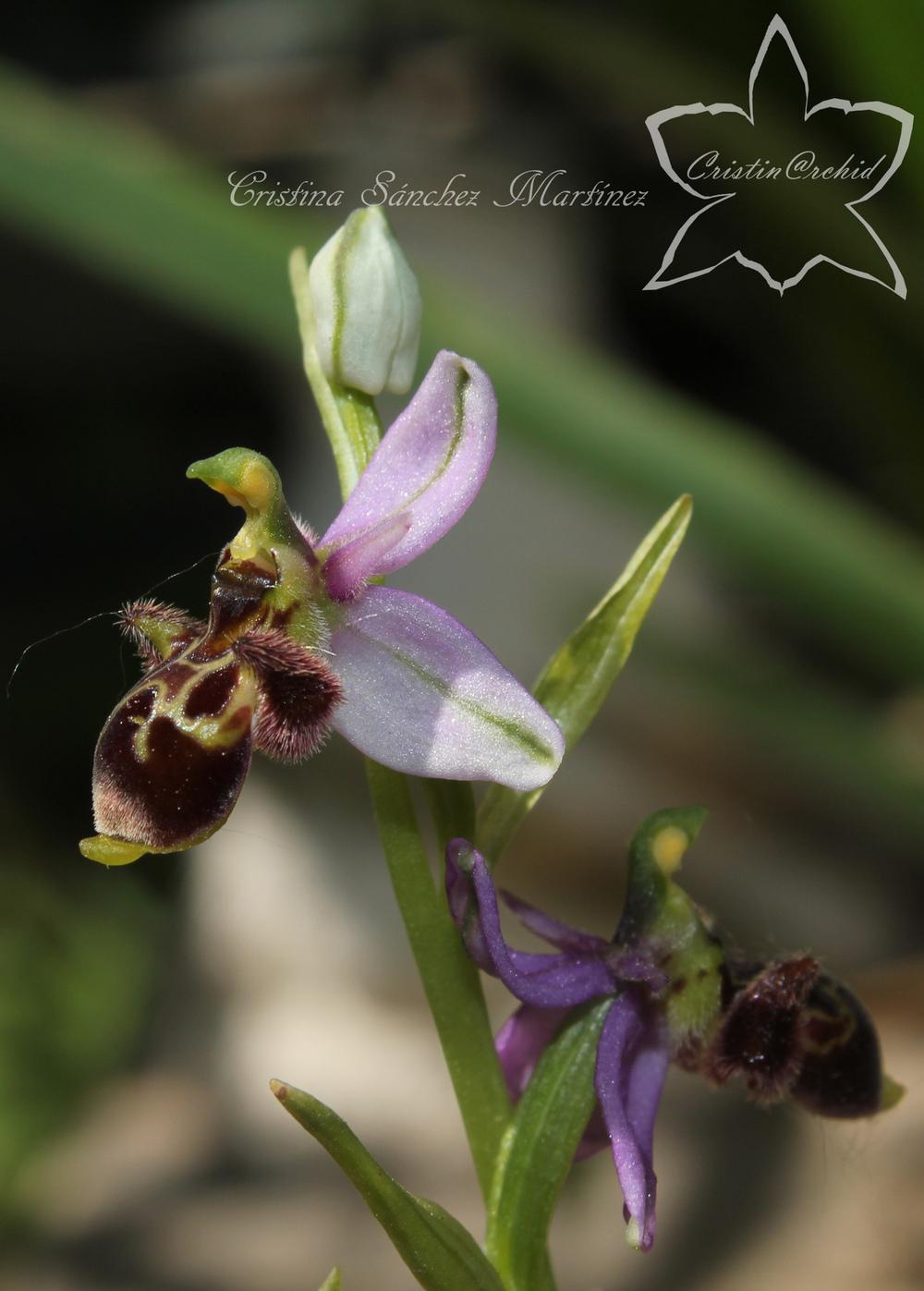 Cristina Sánchez Martínez - Ophrys scolopax