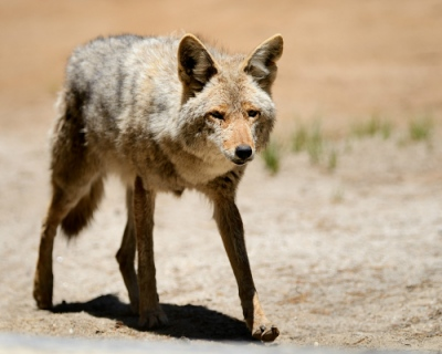Frode Wendelbo Nature and Wildlife photographer - Coyote #1