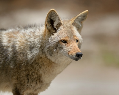 Frode Wendelbo Nature and Wildlife photographer - Coyote #2