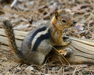 Frode Wendelbo Nature and Wildlife photographer - Golden-Mantled Ground Squirrel #1