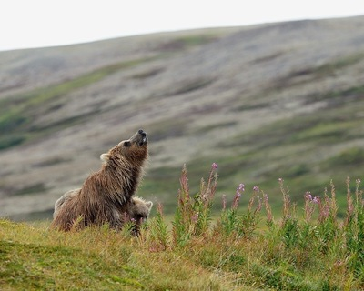 Frode Wendelbo Nature and Wildlife photographer - Grizzly #1