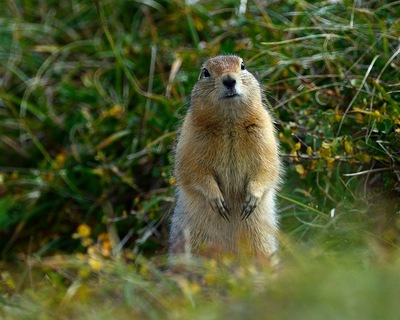 Frode Wendelbo Nature and Wildlife photographer - Arctic ground Squirrel #1