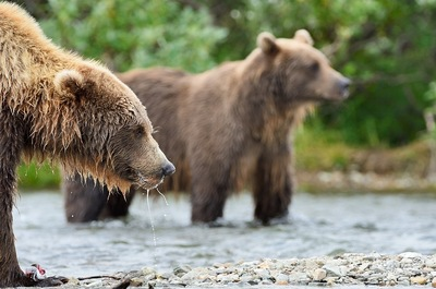 Frode Wendelbo Nature and Wildlife photographer - Grizzly #5
