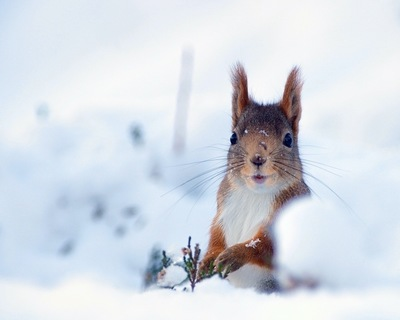 Frode Wendelbo Nature and Wildlife photographer - Ekorre i snö