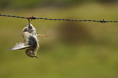 Frode Wendelbo Nature and Wildlife photographer - Taggtråd/Barbed wire