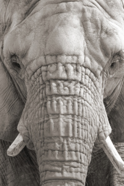 Matt Lindzon Photography - Taken in Toronto With a Canon T2i 2006 A african elephant