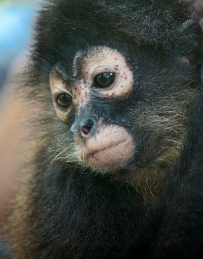 Matt Lindzon Photography - Taken in Costa Rica With a Canon T2i 2013 Spider Monkey