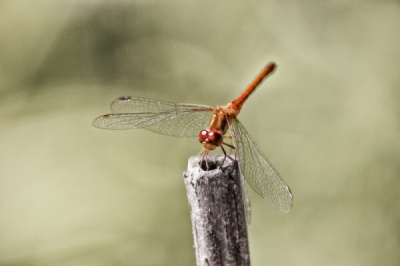 Matt Lindzon Photography - Taken in Muskoka, Ontario With a Canon T2i 2008 Dragon Fly