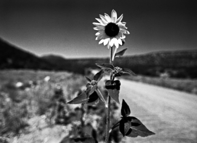 Spindler Photography - New Mexico Sunflower