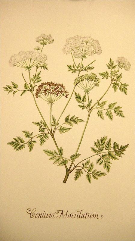 Firingan Kalligrafi - Botanisk illustrasjon, ballast-plante 3