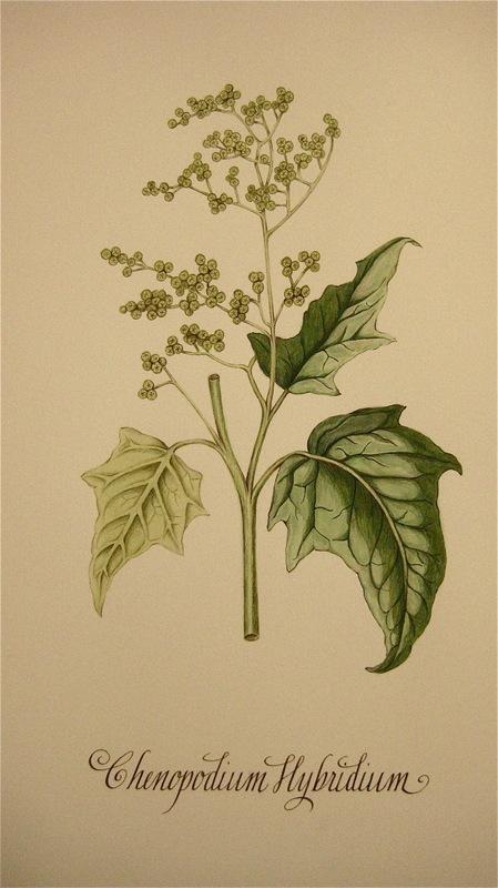 Firingan Kalligrafi - Botanisk illustrasjon, ballast-plante 1