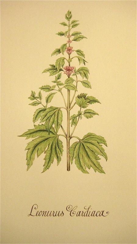 Firingan Kalligrafi - Botanisk illustrasjon, ballast-plante 2