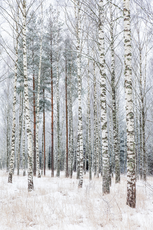 Aestract - Birches