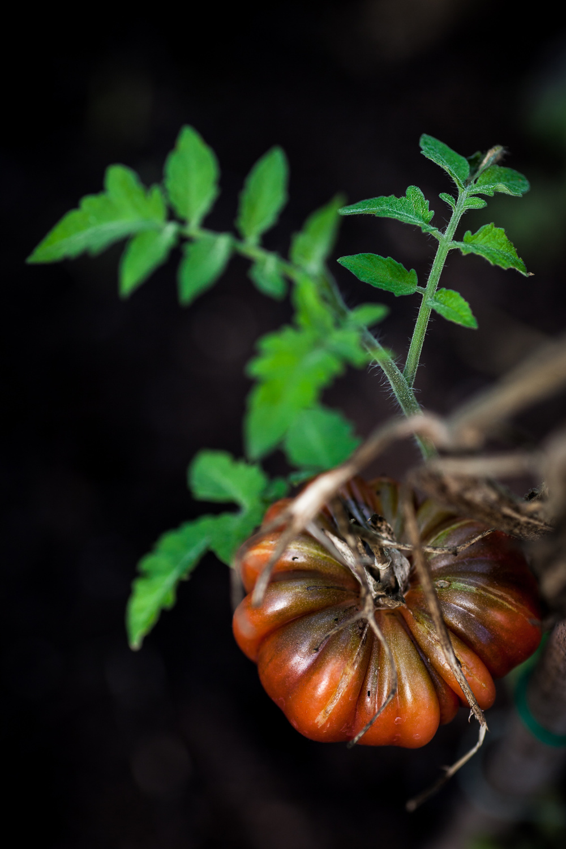 Aestract - Tomatoes