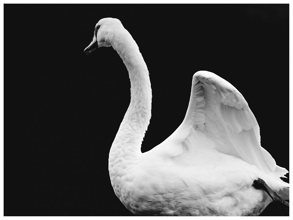 Melina Reid - It's a swan thing
