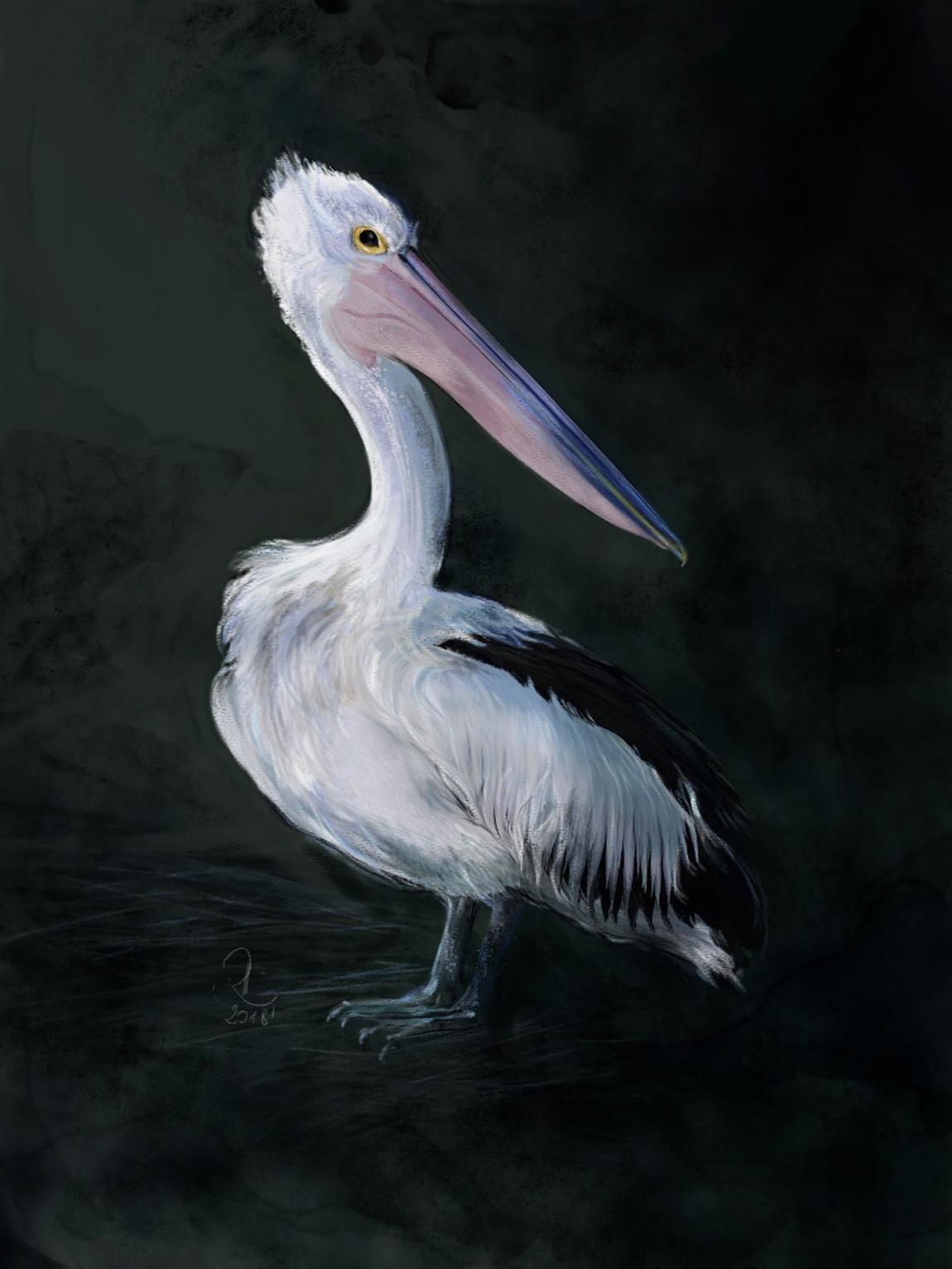 akaproject - Australian pelican